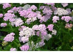 """Achillea millefolium """" Apple Blossom """" - řebříček, tzv. bylinný obvaz Zahradnictví Krulichovi - zahradnictví, květinářství, trvalky, skalničky, bylinky a koření"""
