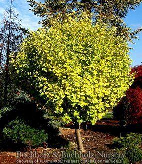 Kigi Nursery - Ginkgo biloba ' Tschi tschi ' Dwarf Maidenhair Tree, $20.00 (http://www.kiginursery.com/dwarf-miniatures/copy-of-ginkgo-biloba-mariken-dwarf-maidenhair-tree/)