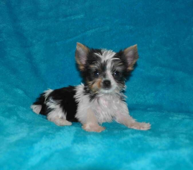 parti yorkies, yorkie puppies, yorkie puppy, yorkies for sale, parti yorkie