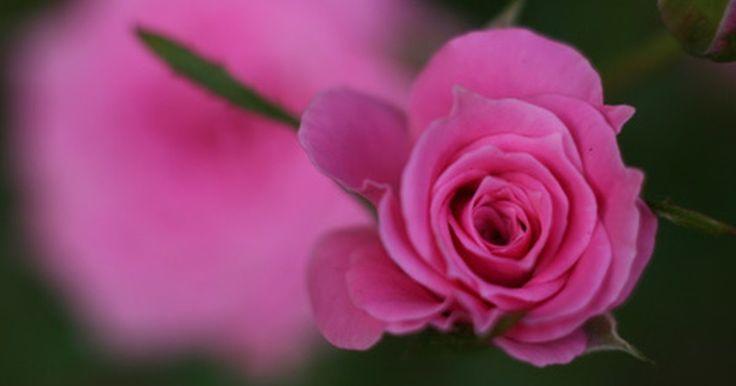 ¿Qué son las rosas?. Las rosas son plantas perennes con flores grandes y coloridas, lo que las convierte en una de las plantas más populares del mundo. Si bien las rosas han existido en la naturaleza durante mucho tiempo, la mayoría de las rosas modernas fueron creadas a través de un proceso de hibridación durante los últimos 150 años.
