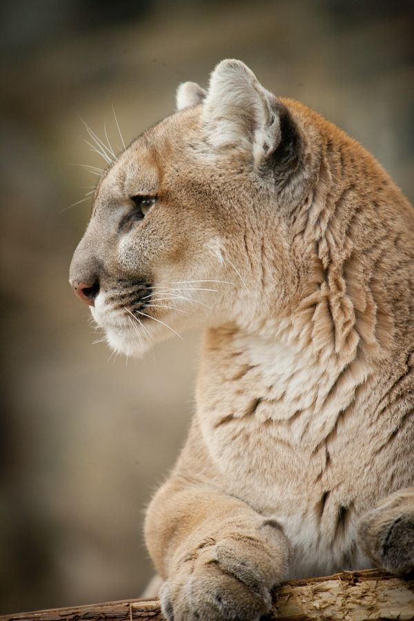 Mountain lion face - photo#16