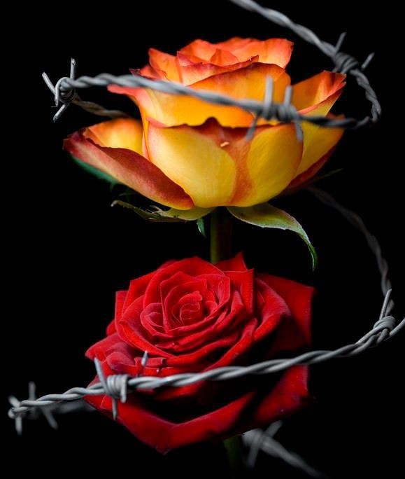 Barbed Wire Rose Tattoo: A Picture Is Worth A Thousand Words