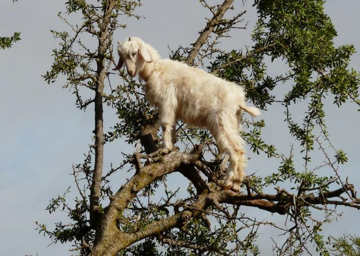Argan Tree climbing goats in Morocco - more info see: http://www.slate.com/blogs/atlas_obscura/2014/12/11/argan_tree_goats_in_morocco.html