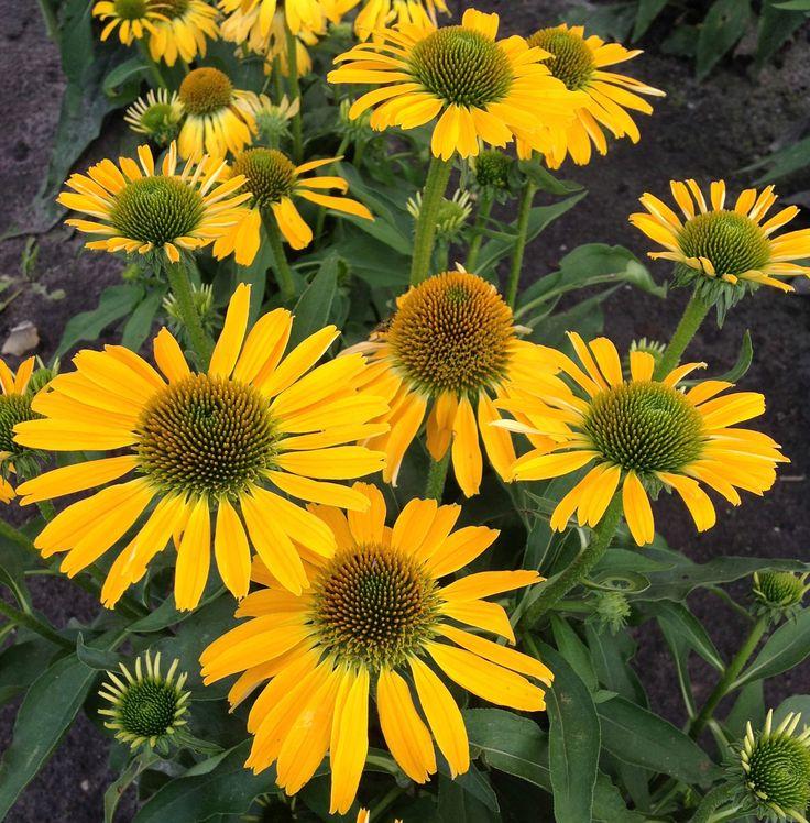 Golden_Skipper Coneflower Horticulture