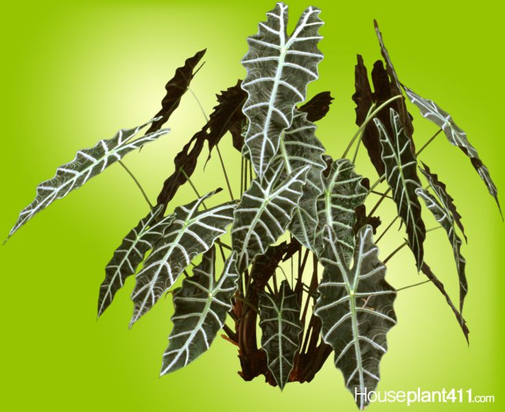 Find out why alocasia plants lose leaves and other care tips: https://www.houseplant411.com/askjudy/why-does-an-elephant-ear-plant-alocasia-lose-leaves