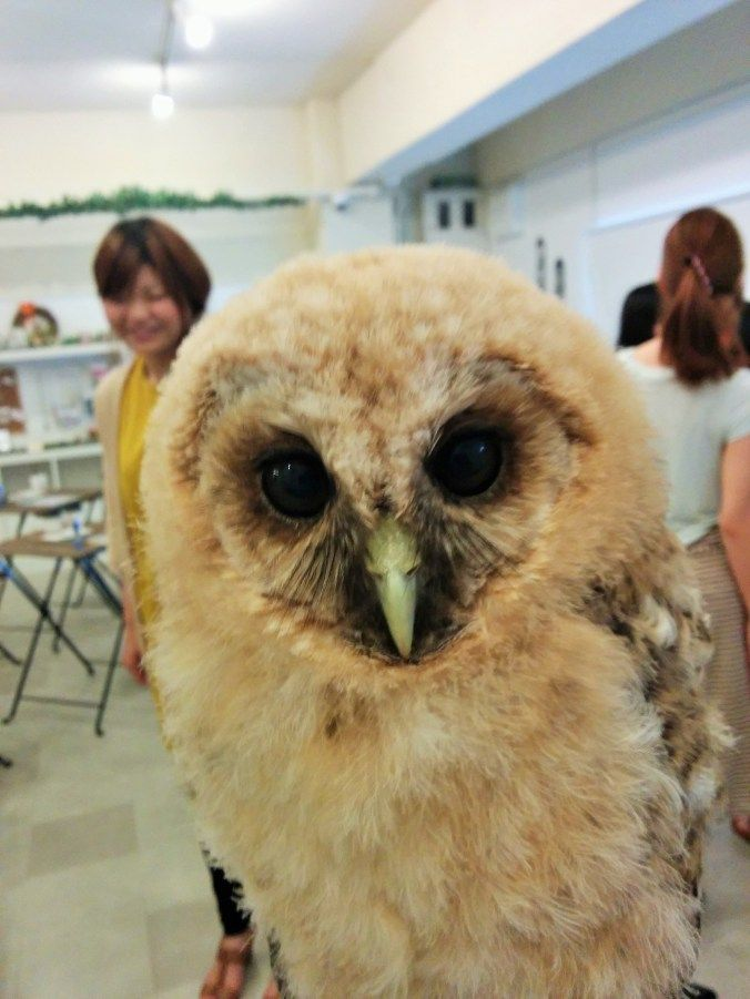 Owl cafe in Japan
