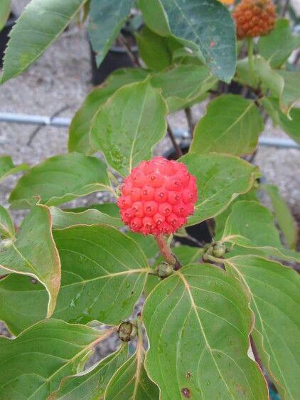 tamarind fruit kousa dogwood fruit
