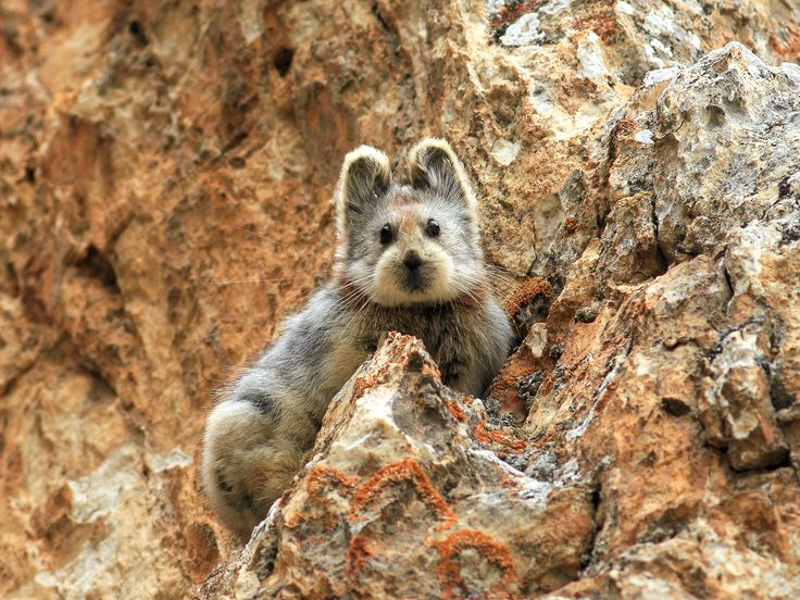 Unbelievably Cute Mammal With Teddy Bear Face - More than 20 years after its discovery, the rare Ili pika was spotted in the mountains of northwestern China.