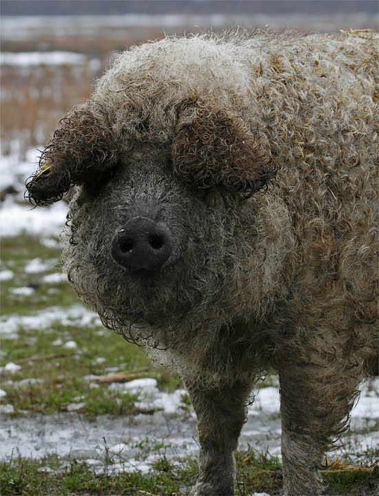 Hungarian mangalica pig - Nagyszik, Hortobagy, Hungary