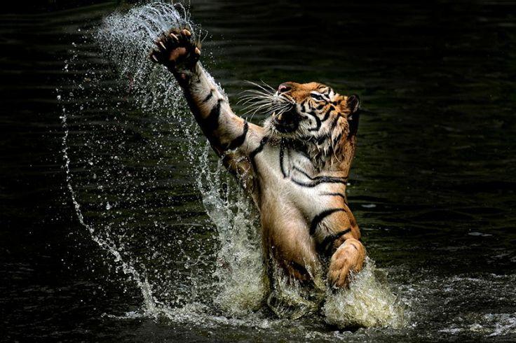Los tigres ysuatractivo salvaje en20fotografías