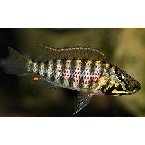 1000 images about tanganyika cichlids on pinterest for Aggressive fish for sale