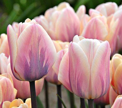 Tulipa Sweet Impression 55cm April/May