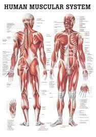anatomie - Google zoeken
