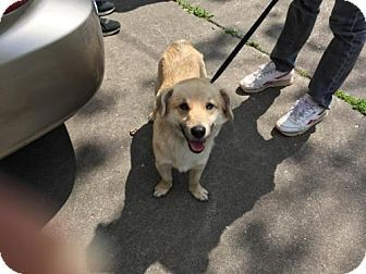 Hagerstown, MD - Corgi/Shepherd (Unknown Type) Mix. Meet Copper Willis, a dog for adoption. http://www.adoptapet.com/pet/17983837-hagerstown-maryland-corgi-mix