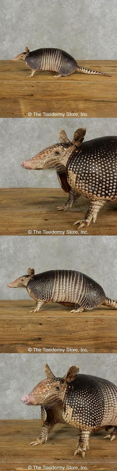 Small Animals 71129: #17054 P | Armadillo Life-Size Taxidermy Mount For Sale -> BUY IT NOW ONLY: $715 on eBay!