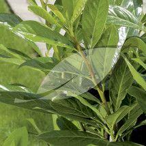 Prunus laurocerasus 'Novita' Cherry Laurel - 10 litres