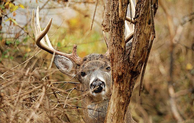 deer sanctuary, old buck, mature buck, deer hunting, deer habitat, pressured…