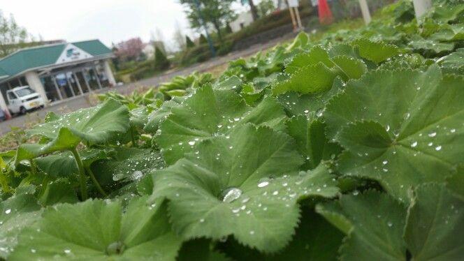 <P>近所にあった葉にはじかれたしずく。梅雨のような感じの写真。