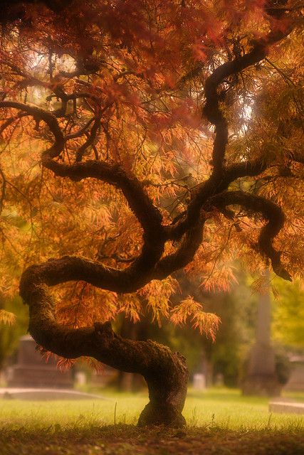 Japanese Maple Jujitsu by Immortal Thrill-Seeker and I thought our Central Texas Native Oak trees had interesting trucks, this is great.