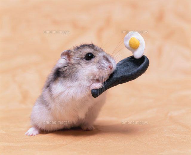 フライパンで目玉焼きを作るジャンガリアンハムスター[21033000119]| 写真素材・ストックフォト・イラスト素材|アマナイメージズ