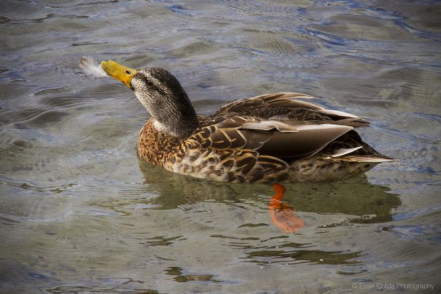 Balancing act - Duck with feather on Lake Taupo   © Elyse Childs Photography
