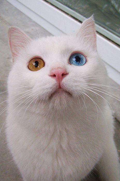 Gatinho com olhos de cores diferentes 01