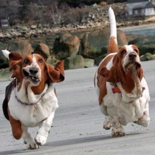 Love Bassett Hounds!: Hahahah Bassetthounds 3, Bassethound Basset