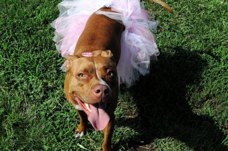 Nala rocks a tutu like nobody's business #pitbulls