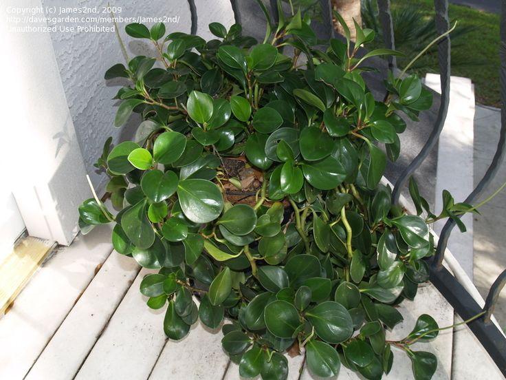 17 best plants ferns images on pinterest ferns indoor for Baby fern plant