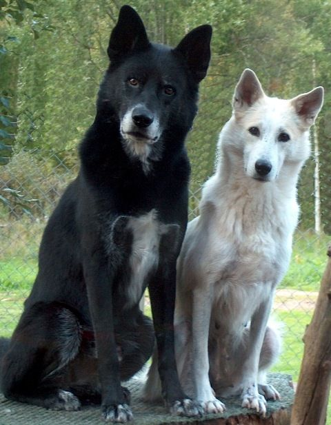 34 best Canaan Dogs on Kennel Chanco images on Pinterest ...