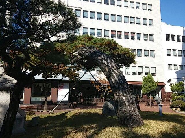 계산 성당 앞 소나무