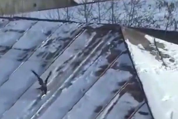 Suomen Luonto - Iloinen varis! (video 1:24)