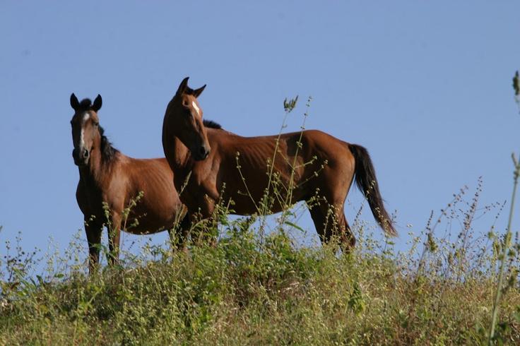 Wild Horses on the beach.  Venao Beach Panama.