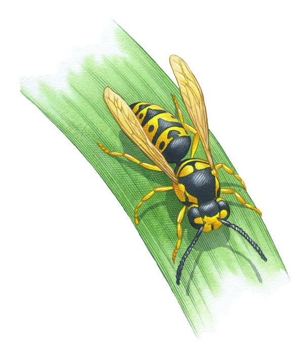 Yellow Jackets and other wasps can be beneficial in your garden in a variety of ways. Irritating guests at your barbecues and backyard swims, yes, but they can removed insect pests from your garden by the pound. From MOTHER EARTH NEWS magazine.