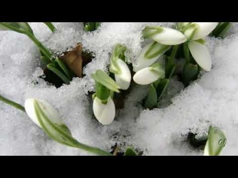 *** - The Messenger of Spring  -  Snowdrops -***