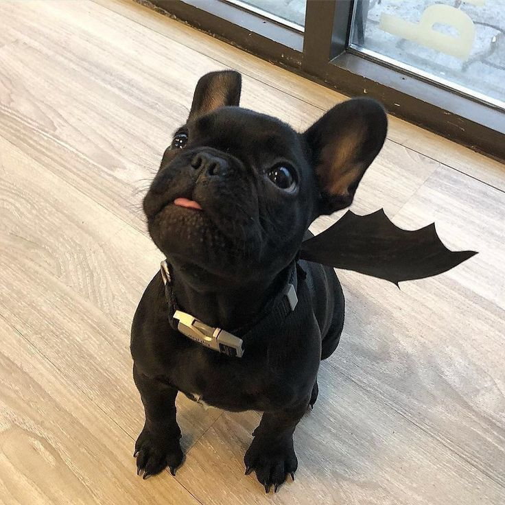 best food for french bulldog puppy with allergies