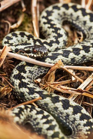 Adders hunt lizards and small mammals, as well as groundnesting birds such as Skylark and Meadow Pipit