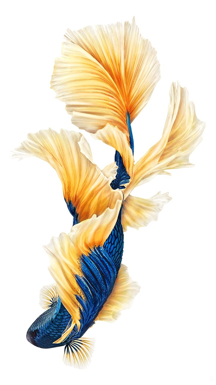 Wallpaper iphone fish - Gold Blue Fish Nature Wallpapers Tap To See More Iphone 6 Iphone 6s