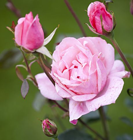 Ruusut - Roses