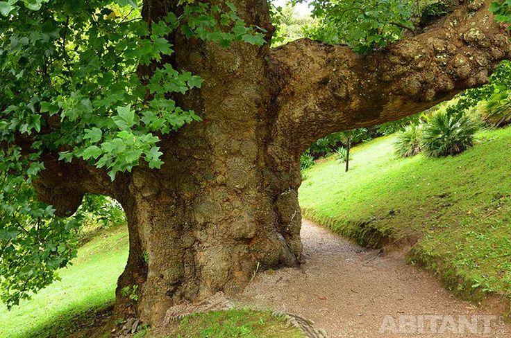 Старинное дерево в парке
