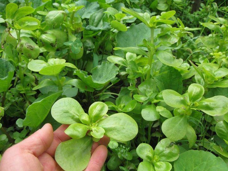 Golden Portulak - Salate Portulak Gemüse - 50+ Samen - KNACKFRISCH und FEIN!
