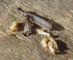 This is a picture of a reproductive termite (Swarmer) and a worker termite. Call Universal Pest & Termite today for a free inspection.  757-502-0200.  www.yourpestguy.com