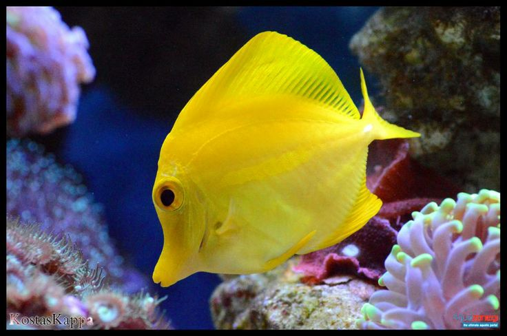 yellow tang coloring pages - photo #43