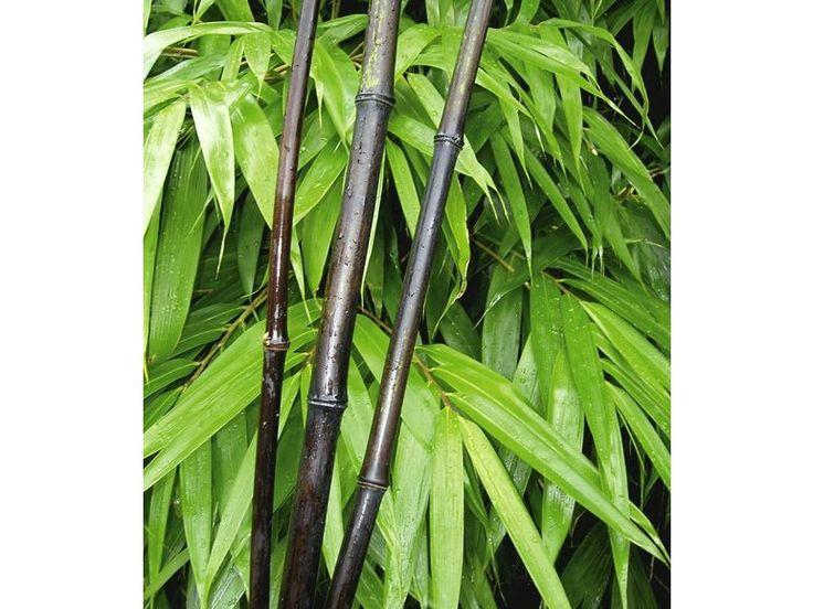 25 best ideas about bambus winterhart on pinterest. Black Bedroom Furniture Sets. Home Design Ideas