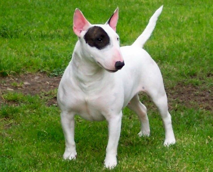 BULL TERRIER They may be cute on Target commercials (and do you remember Spuds Mackenzie from the 80's?) but these dogs aren't as cuddly as they seem. This breed has the leanest muscle tissue, pound-for-pound. Their strong prey drive makes them aggressive towards other animals, but aren't necessarily aggressive to humans.