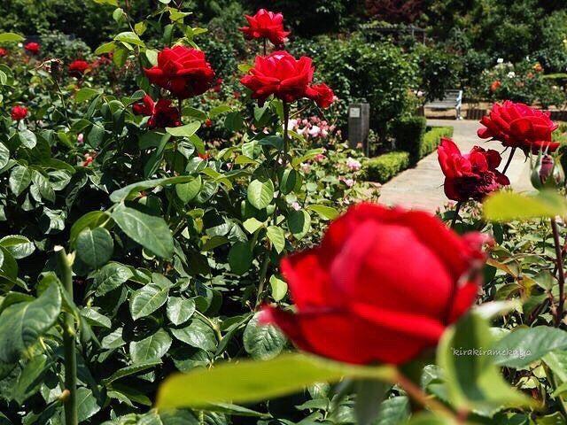 赤いバラの海  #谷津バラ園 #花 #フラワー #バラ #薔薇 #ブルグンド81 #赤 #スカーレット #きれい #はなまっぷ #flower #flowers #rose #roses #rosebud #burgund81 #red#scarlet #rosestagram #ig_flowers #instaflower #flowerslovers #flowerstagram #flowersofinstagram #floweroftheday  #ミラーレス一眼 #カメラ初心者 #オリンパス #オリンパスペン #オリンパス倶楽部
