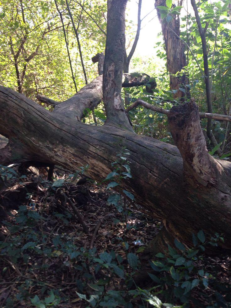 Tronco eucalipto