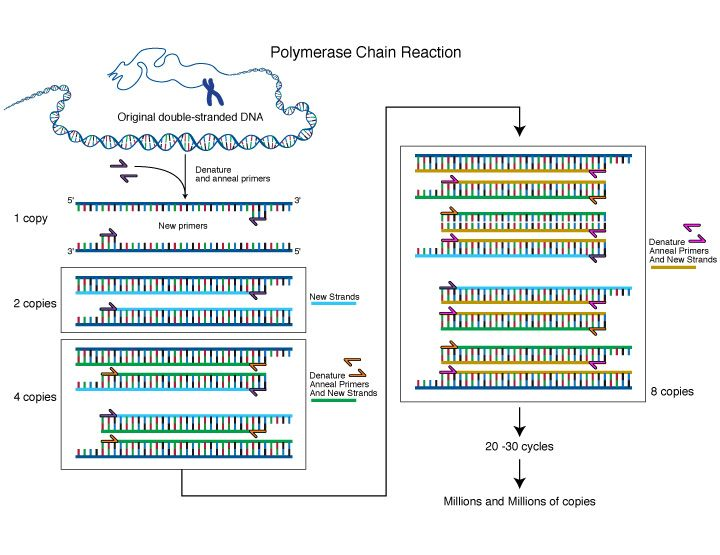Polymerase Chain Reaction (PCR) - View Larger