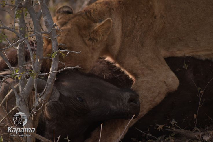 Lion kill at Kapama Game Reserve