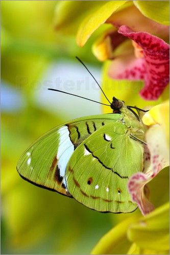 **Olivewing (Nessaea aglaura) butterfly